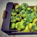 Polinización natural de tomate Raf