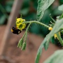 Natural pollination of tomatoes Raf