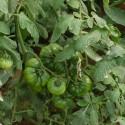 Recolección de tomate miniRaf