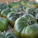 Cultivation of tomatoes Raf