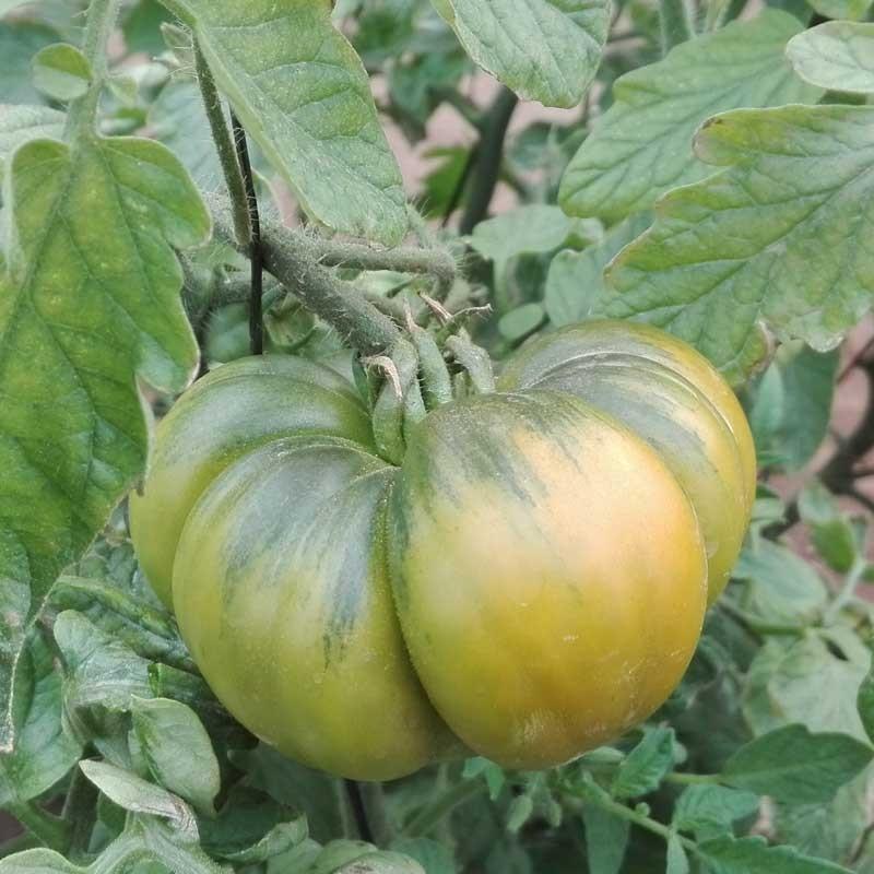 Presentation of miniRaf tomato