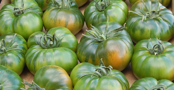 When does the Raf tomato season begin?
