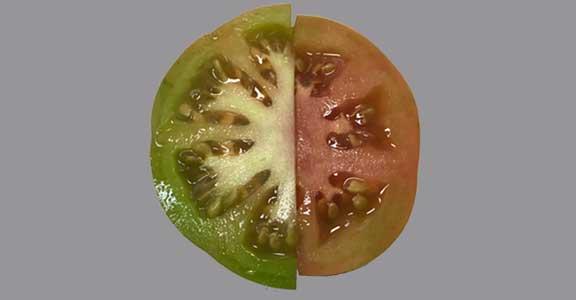 Comment la tomate Raf est-elle consommée?