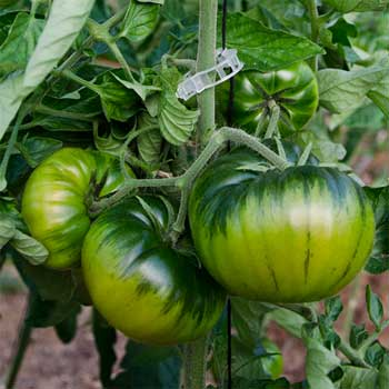 Une fausse tomate Raf