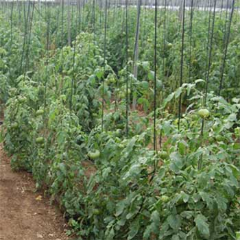 Así es una planta de tomate Raf.