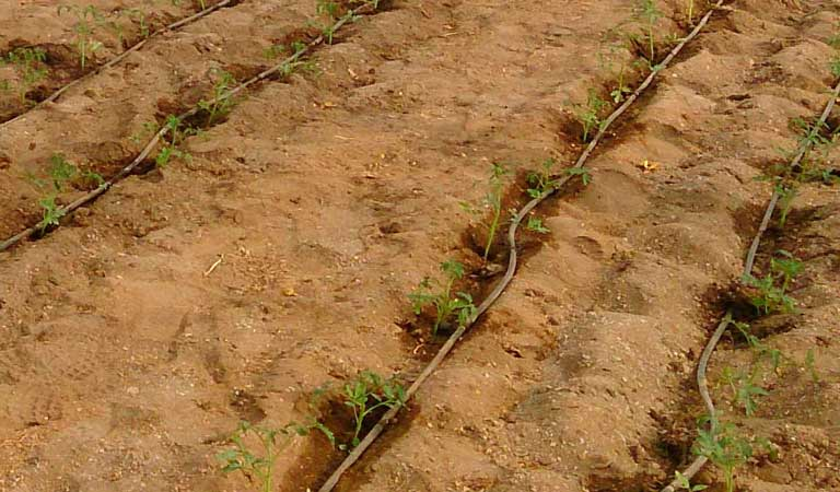 Soil preparation for the cultivation of Raf tomato
