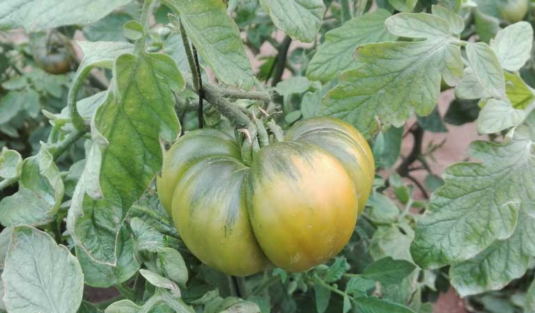Raf tomato crop development